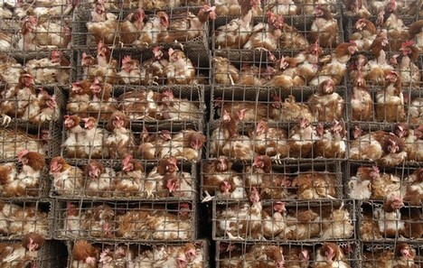 Chickens are seen inside cages on a truck near a poultry market in Dengzhou